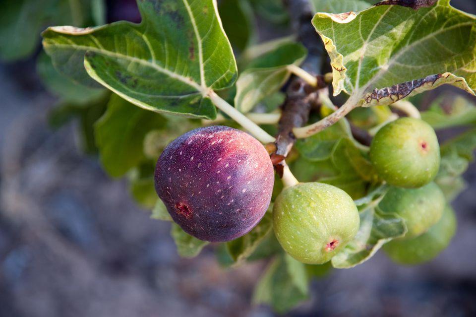 Figs The Spruce.jpg