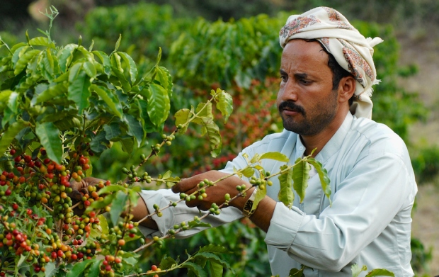Farmer collects arabica coffee beans at the plantation in Taizz, Yemen.
