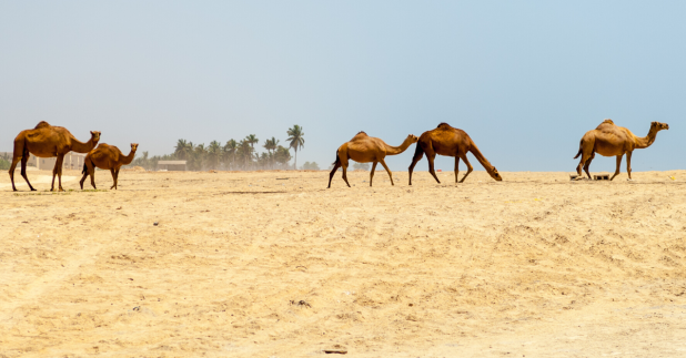 camels on the beach, Salalah