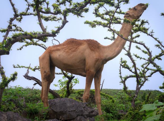 mountain camel dhofar khareed